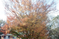 085_Zelkova_Whole-tree-in-autumn_Original-photo