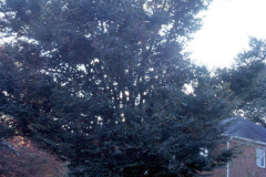 085_Zelkova_Whole-tree_Original-photo