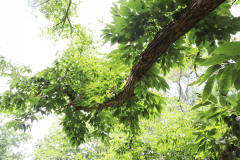 086_Chinese-Chestnut_Branch_Updated-photo-2020