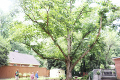 086_Chinese-Chestnut_Entire-Tree-with-Edith-Daniel-Rowe_Updated-photo-2020