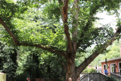 086_Chinese-Chestnut_Entire-Tree-with-Edith-Rowe_Updated-photo-2020