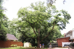 086_Chinese-Chestnut_Entire-Tree-with-the-Rowe_s_Updated-photo-2020