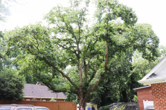 086_Chinese-Chestnut_Entire-Tree_Updated-photo-2020