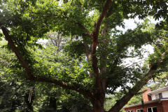 086_Chinese-Chestnut_Entire-Tree_Updated-photo-20201