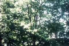 086_Chinese-Chestnut_Whole-tree_Original-photo