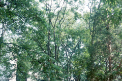 089_Tree-of-Heaven_Entire-Tree_Original-photo