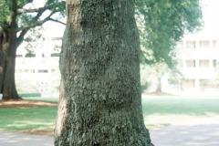 089_Tree-of-Heaven_Trunk_Original-photo