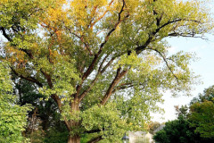 092_Eastern-Cottonwood_Entire-tree_Updated-photo-2019