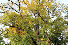 092_Eastern-Cottonwood_Entire-tree_Updated-photo-20191