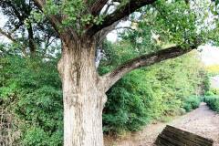 092_Eastern-Cottonwood_Trunk_Updated-photo-20191