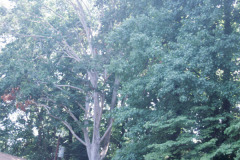 095_American-Beech_Entire-tree_Original-photo