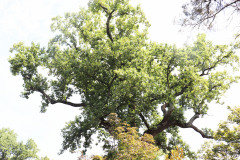 096_Yellow-Poplar_Canopy_Updated-photo-20201
