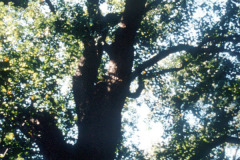 096_Yellow-Poplar_Trunk-and-canopy_Original-photo