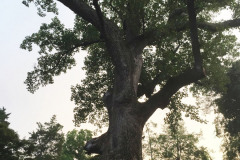 096_Yellow-Poplar_Trunk-and-canopy_Updated-photo-2019