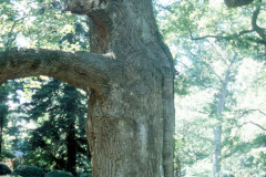 096_Yellow-Poplar_Trunk_Original-photo