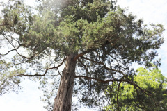 097_Eastern-Red-Cedar_Canopy_Updated-photo-2020