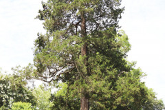 097_Eastern-Red-Cedar_Entire-Tree_Updated-photo-2020