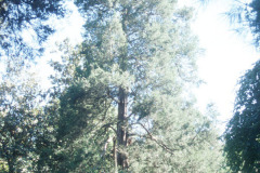 097_Eastern-Red-Cedar_Whole-tree_Original-photo
