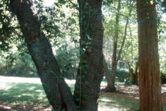 098_Laurel-Cherry_Trunk_Original-photo