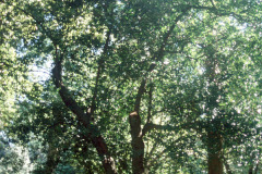 098_Laurel-Cherry_Whole-tree_Original-photo