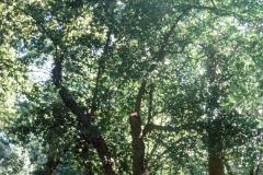 098_Laurel-Cherry_Whole-tree_Original-photo