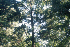 099_Eastern-White-Pine_Whole-tree_Original-photo