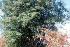 100_American-Holly_Entire-tree_Original-photo