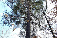 101_Virginia-Pine_Entire-tree_Updated-photo-2020