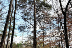101_Virginia-Pine_Entire-tree_Updated-photo-20201