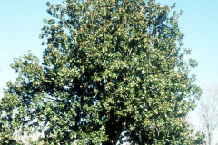 104_Southern-Magnolia_Entire-tree_Original-photo