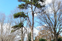 105_Virginia-Pine_Entire-Tree_Updated-photo-20191