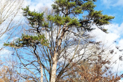 105_Virginia-Pine_Entire-tree_Updated-photo-2019