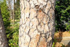 105_Virginia-Pine_Trunk_Updated-photo-2019
