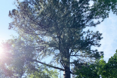 106_Loblolly-Pine_Canopy_Updated-photo-2020