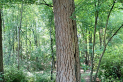 106_Loblolly-Pine_Trunk_Updated-photo-2020
