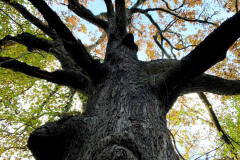 110_Post-Oak_Canopy-and-Trunk_Updated-photo