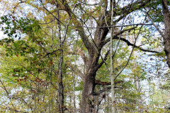 110_Post-Oak_Entire-Tree_Updated-photo
