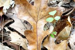 110_Post-Oak_leaves_Updated-photo