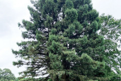 118_Coast-Redwood_Entire-Tree_Updated-photo-2020