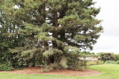 118_Coast-Redwood_Entire-Tree_Updated-photo-20201