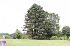 118_Coast-Redwood_Entire-Tree_Updated-photo-20203