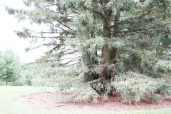 118_Coast-Redwood_Entire-Tree_Updated-photo-20204