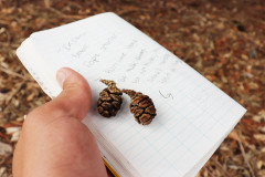 118_Coast-Redwood_Pinecones_Updated-photo-2020