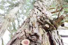 118_Coast-Redwood_Trunk-detail_Updated-photo-2020