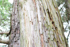 118_Coast-Redwood_Trunk_Updated-photo-20201