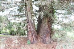 118_Coast-Redwood_Trunks_Updated-photo-2020