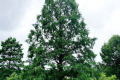 119_Dawn-Redwood_Entire-Tree_Updated-photo-2020