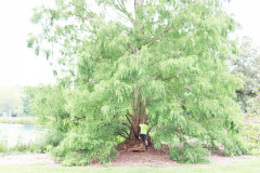 119_Dawn-Redwood_Entire-tree-with-Brett_Updated-photo-2020