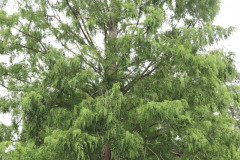 119_Dawn-Redwood_Entire-tree_Updated-photo-20201