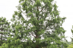 119_Dawn-Redwood_Entire-tree_Updated-photo-20202